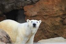 Animals: Bear-Skin Rug