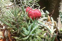 Suculentas e cactos afins / flores do meu jardim