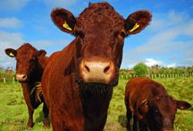 Scilly cows / Our herd of Devon Ruby Red cattle