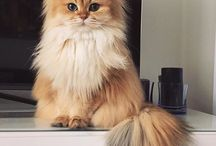 PERSIAN  // EXOTIC cats