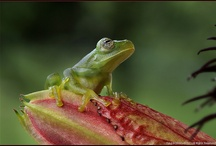 Amphibians / The awesomeness of animals that live part of their lives in water and part on land. / by San Diego Zoo