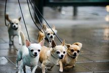 Chihuahua Puppies / by Brenda Hearnsberger
