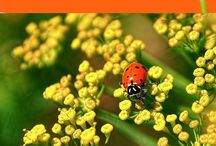 Attracting ladybugs