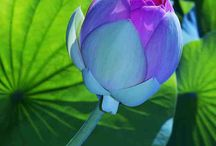 The Lotus / A peace of mind