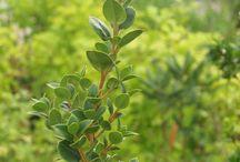 Hardy ewergreens