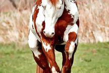 caballos indios