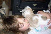 Goats // lambs