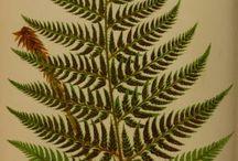 Paprotka polypodium