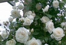 roses, my love