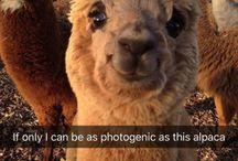 Lama and alpacas