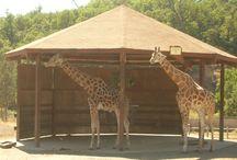 giraffes are my favorite / by Tessa McGrath