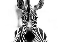 Zebra / by Keridwyn Deller