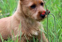 Dunham Lake Australian Terrier Puppies / Multiple Best in Show breeder of Australian Terriers in the USA. www.DunhamLakeAustralianTerriers.com