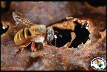 Apicultura / Dicas gerais sobre a criação de abelhas