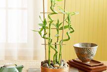 Fengshui plant