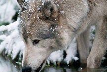 Wolfs *-*