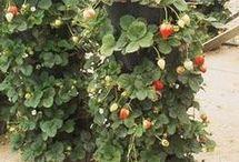 Pěstování na zahradě
