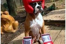 boxer dogs♥