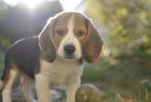 Moody beagle