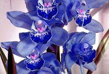 anggrek/orchid