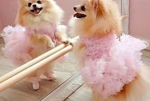 Pomeranians / Soooo cute
