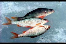 По льду за чебаком -сорога, плотва. Рыбалка в Сибири.