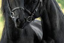 Fekete lovak