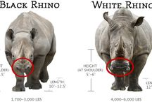 Rhino Facts / Interesting facts about our beautiful rhinos...