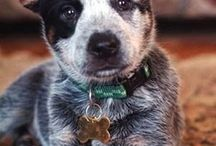 Mostly Australian Cattle Dogs