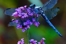 Dragonflies / Beautiful creatures