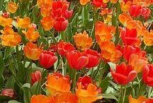 Tulips / Orange