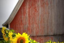 barns&flowers&cows