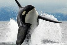 Balene ucigașe