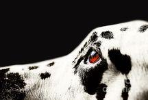 Dalmatians / Dogs