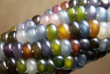Glass Gem Corn / by Jeanette Haygood