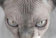Sphinx / Chat pas de poil, TROP MIGNON!!!