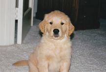 Golden Babies / Golden Retrievers--world's best dogs