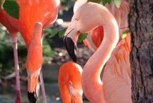 Flamingos / Como Park Zoo and Conservatory's Flamingos