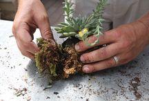 Kocedama plants