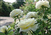 Rosor Kanadensiska / Här presenterar vi de kanadensiska rosor vi normalt har i sortimentet.