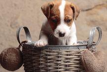 Chiots Jack Russel Terrier / Chiots Jack Russel Terrier d'Austral et Boreal