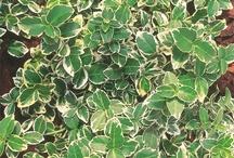 Beinved grønne planter