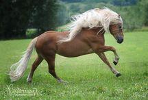 Haflinger horses / Blonde beauties on four hooves :)