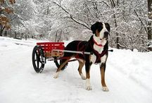 The Great Greater Swiss Mountain Dog