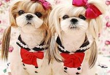 Shih Tzu / It's all about us!