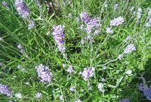 Botanicals / Photos taken by Aromatherapists for you to enjoy