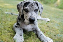 One day............. / I had a great dane when i was growing up and she gave us so much joy, I hope one day we will get another so our children can also experience the joy she brought us x