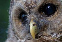 Beautiful Owl's