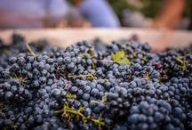 Wine - Beautiful Harvest Pictures / Beautiful images of the grape harvest in California