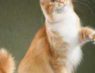 Maine Coon - Red Tabby Ticked & White / #MaineCoon #Red #Tabby #Ticked #White #Cats